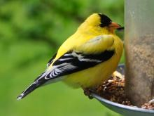 An American goldfinch in Northborough, photographed by Sandy Howard.