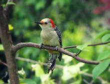 A red-bellied woodpecker in Northborough, photographed by Sandy Howard.