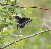 A black swallowtail butterfly at Breakneck Hill Conservation Land in Southborough, photographed by Steve Forman.