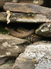 A common garter snake in Wayland, photographed by Mimsy Beckwith.