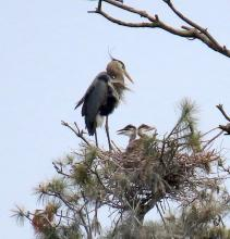Great blue herons over the Sudbury Reservoir in Southborough, photographed by Steve Forman.