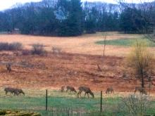 A herd of white-tailed deer in Wayland, photographed by Mimsy Beckwith.
