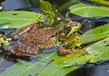 A green frog in Natick, photographed by Joan Chasan.
