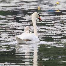 A mute swan and cygnet at Farm Pond in Framingham, photographed by Steve Forman.