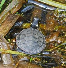 A painted turtle in Natick, photographed by Joan Chasan.