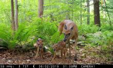 White-tailed deer in Framingham, photographed with an automatically triggered wildlife camera by Margaret McKane.