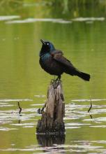 A common grackle at Assabet River National Wildlife Refuge in Sudbury, photographed by Dan Trippe.