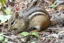 An eastern chipmunk at Hager Pond in Marlborough, photographed by Steve Forman.