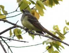 A great crested flycatcher at Assabet River National Wildlife Refuge in Sudbury, photographed by Dan Trippe.