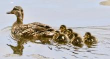 A family of mallards at Hager Pond in Marlborough, photographed by Steve Forman.