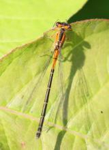 An eastern forktail at Grist Mill Pond in Sudbury, photographed by Steve Forman.