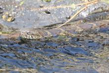 A northern water snake at Grist Mill Pond in Sudbury, photographed by Steve Forman.