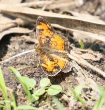 A pearl crescent at Grist Mill Pond in Sudbury, photographed by Steve Forman.