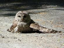 A barred owl at Assabet River National Wildlife Refuge in Sudbury, photographed by Christine Goddard.
