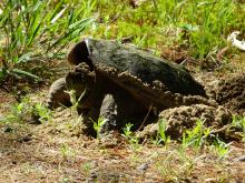 A snapping turtle laying eggs at Assabet River National Wildlife Refuge in Sudbury, photographed by Christine Goddard.