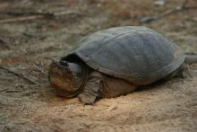 A snapping turtle at SVT's Memorial Forest in Sudbury, photographed by Dan Trippe.