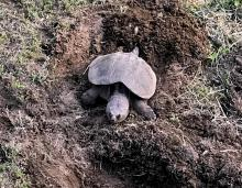 A snapping turtle in Framingham, photographed by Todd Boli.