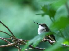 A ruby-throated hummingbird in Northborough, photographed by Sandy Howard.