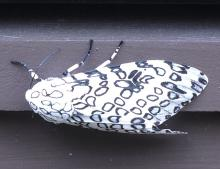 A giant leopard moth in Sudbury, photographed by Sharon Tentarelli.