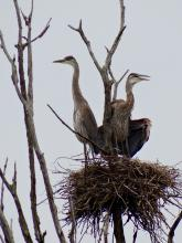 Great blue herons at a nest from SVT's Lyons-Cutler Reservation in Sudbury, photographed by Lily Aisenberg.