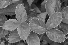 Strawberry leaves in Framingham, photographed by Gerry White.