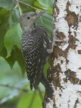 A fledgling red-bellied woodpecker in Sudbury, photographed by Sharon Tentarelli.