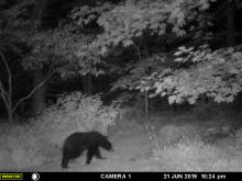 An American black bear near SVT's Smith Conservation Land in Littleton, photographed with an automatically triggered wildlife camera by Chuck Faraci.
