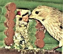 A house finch feeding its nestling in Harvard, photographed by Robin Right.
