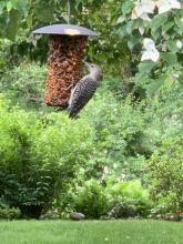 A fledgling red-bellied woodpecker in Wayland, photographed by Margo Levy.