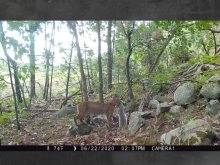 A bobcat catches a gray squirrel in Harvard, photographed by Steve Cumming, with an automatically triggered wildlife camera.