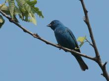 An indigo bunting at Assabet River National Wildlife Refuge in Sudbury, photographed by Dan Trippe.