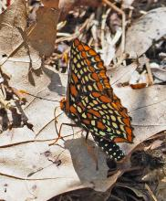 A Baltimore checkerspot at Garden in the Woods in Framingham, photographed by Joan Chasan.