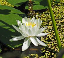 A water lily at Garden in the Woods in Framingham, photographed by Joan Chasan.
