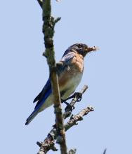 An eastern bluebird at Breakneck Hill Conservation Land in Southborough, photographed by Steve Forman.