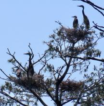 Great blue herons at their nest on the Sudbury Reservoir in Framingham, photographed by Steve Forman.