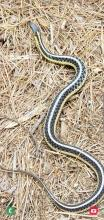 A common garter snake at SVT's Memorial Forest in Sudbury, photographed by Michael Leary.