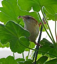 A Carolina wren in Framingham, photographed by Joan Chasan.