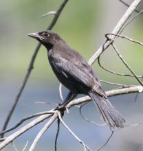 An immature common grackle at Mass Audubon's Waseeka Wildlife Sanctuary in Hopkinton, photographed by Steve Forman.