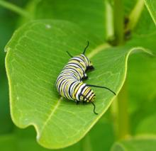 A monarch caterpillar at Great Meadows National Wildlife Refuge in Concord, photographed by Joan Chasan.