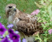 A red-tailed hawk in Framingham, photographed by Steve Forman.