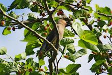 A cedar waxwing at Assabet River National Wildlife Refuge in Sudbury, photographed by Craig Smith.