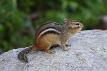 An eastern chipmunk at Assabet River National Wildlife Refuge in Sudbury, photographed by Craig Smith.