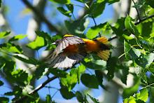 A Baltimore oriole at Assabet River National Wildlife Refuge in Sudbury, photographed by Craig Smith.