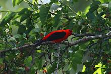 A scarlet tanager at Assabet River National Wildlife Refuge in Sudbury, photographed by Craig Smith.