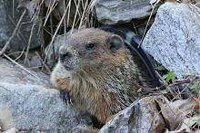 A woodchuck at Assabet River National Wildlife Refuge in Sudbury, photographed by Craig Smith.