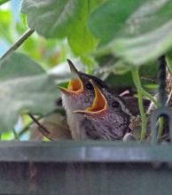 Carolina wren nestlings in Framingham, photographed by Joan Chasan.