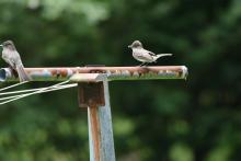 Eastern phoebes in Maynard, photographed by Gail Sartori.