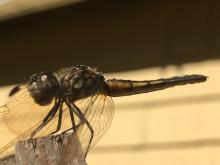 A blue dasher dragonfly in Sudbury, photographed by Penny Bevan.