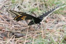 A black swallowtail butterfly at Farm Pond in Framingham, photographed by Steve Forman.