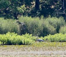 Great blue herons at Farm Pond in Framingham, photographed by Steve Forman.
